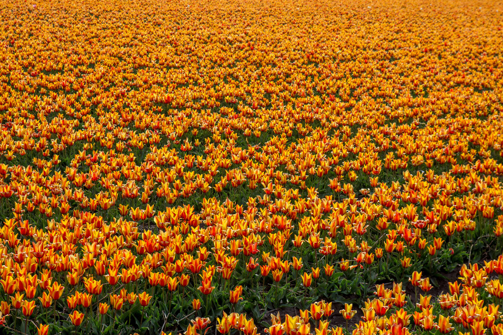 Tulips in Netherlands - what else?