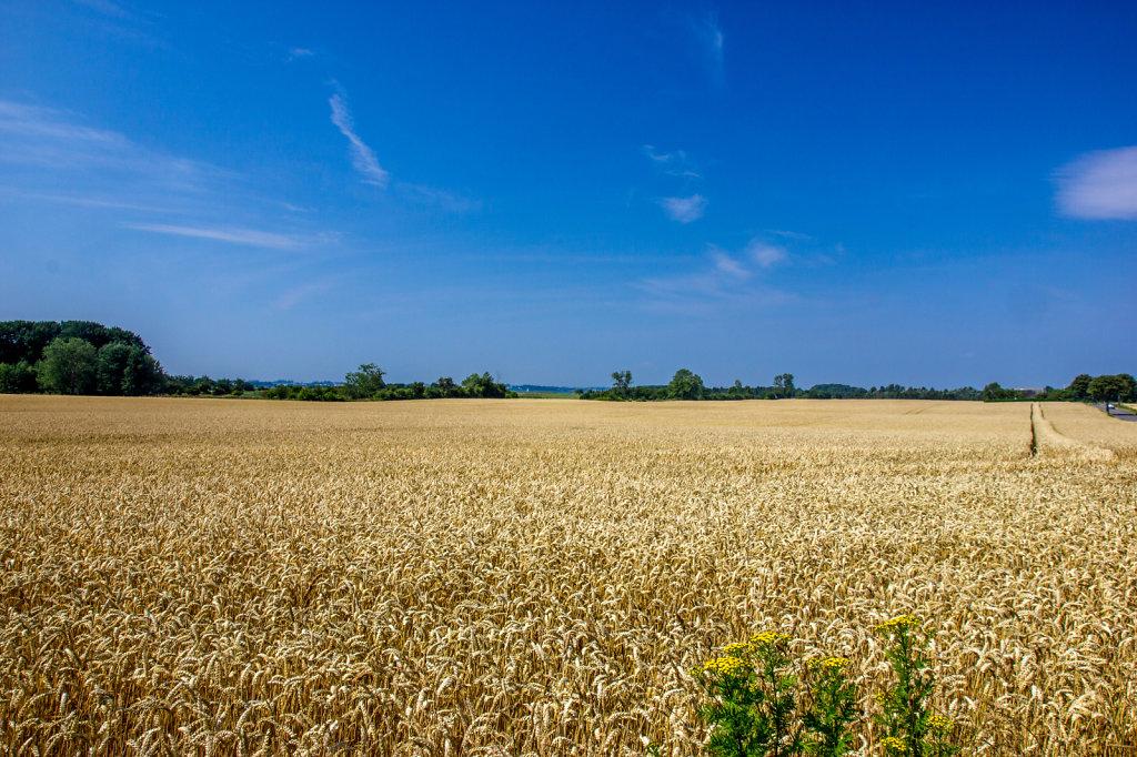 Grain Fields on Møn, Denmark